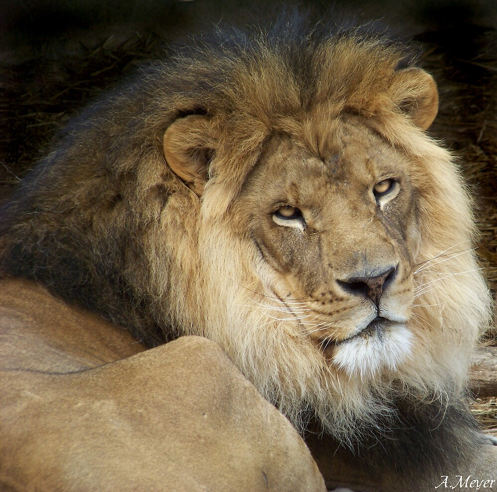 The Lion by Ashley  Meyer
