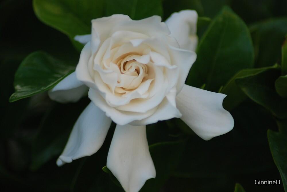 Gardenia by GinnineB