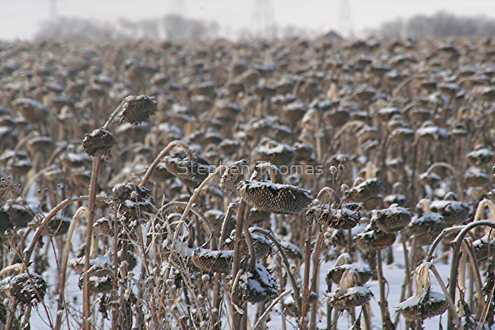 Sunflowers in the Winter by Stephen Thomas