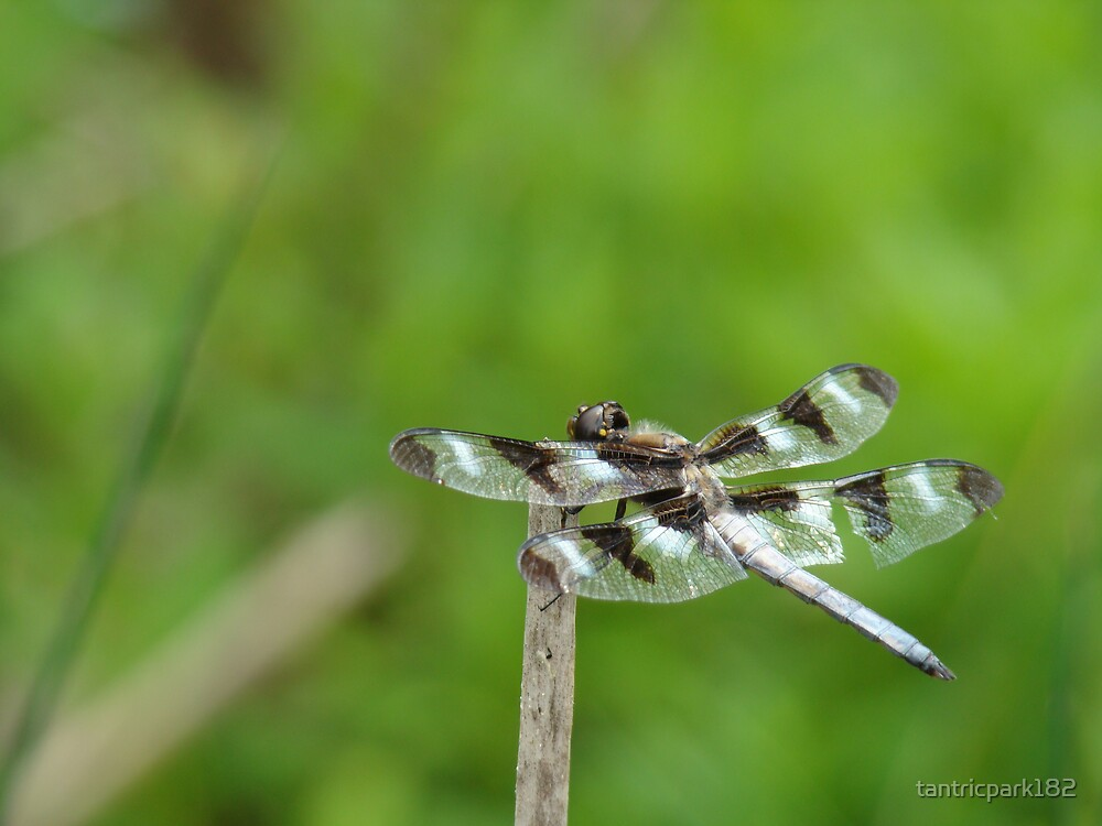 mid summer dragonfly by tantricpark182