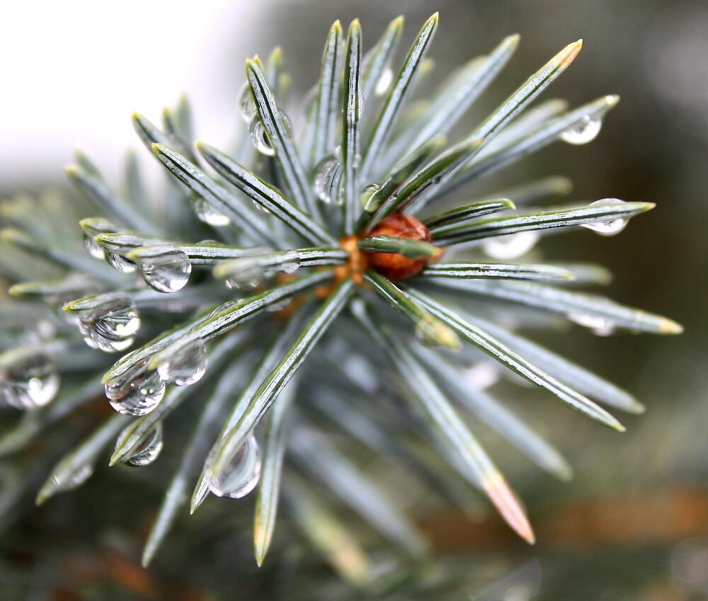 Blue Spruce by Stephanie Ogg