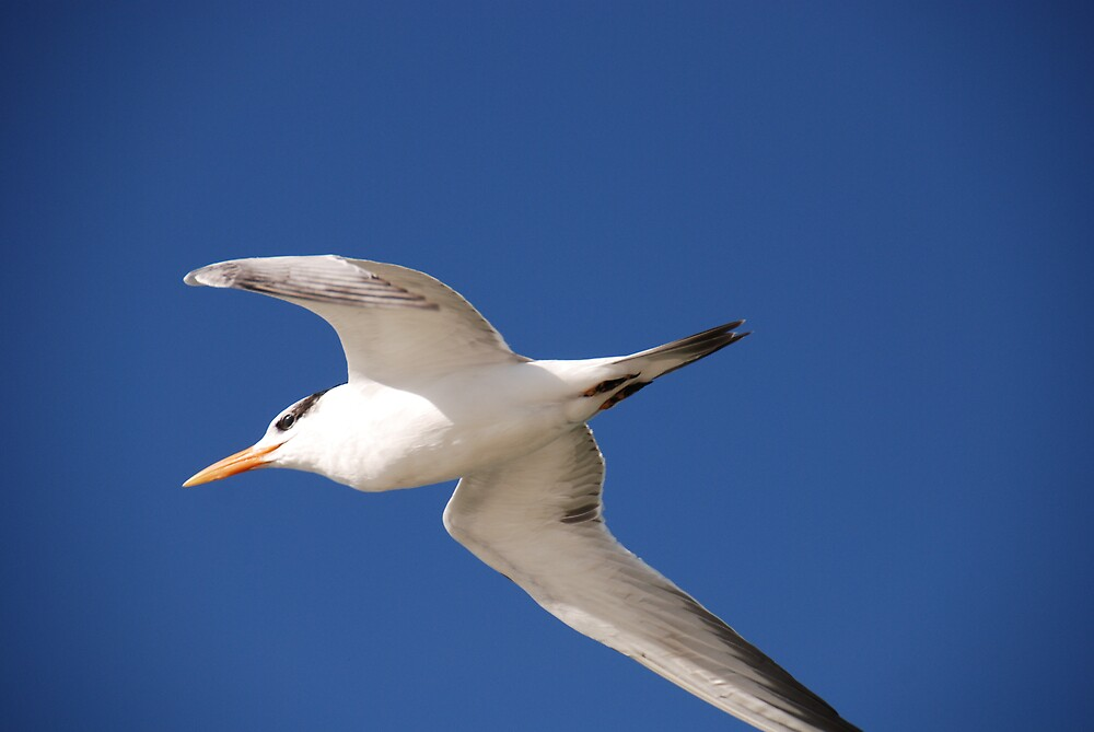 Gulls and Skimmers by Barry Goble