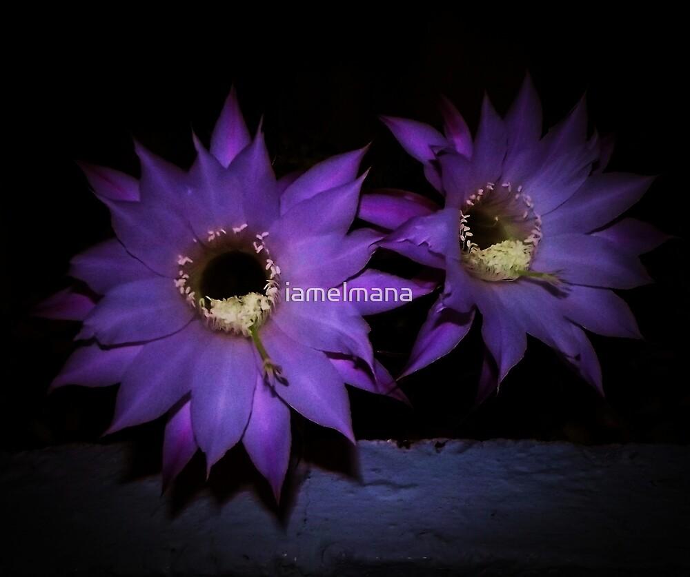 Cacti blooms by iamelmana