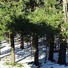 Pine Shadows by Rosemary Sobiera