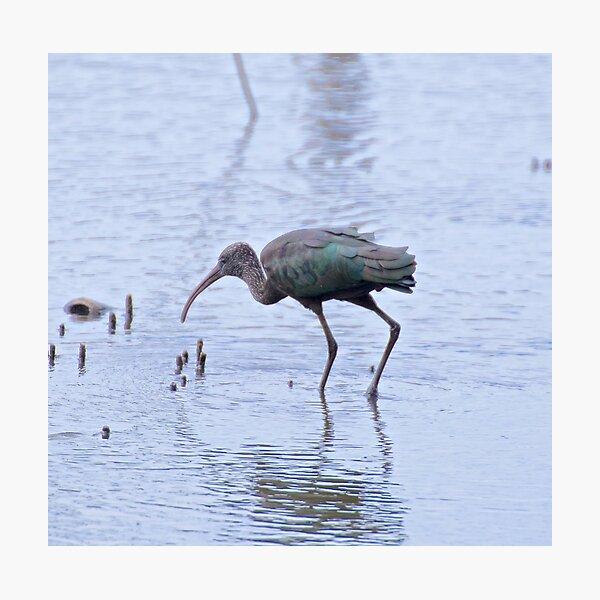 WADER ~ Glossy Ibis by David Irwin Photographic Print