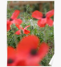 Poppies and bud Poster
