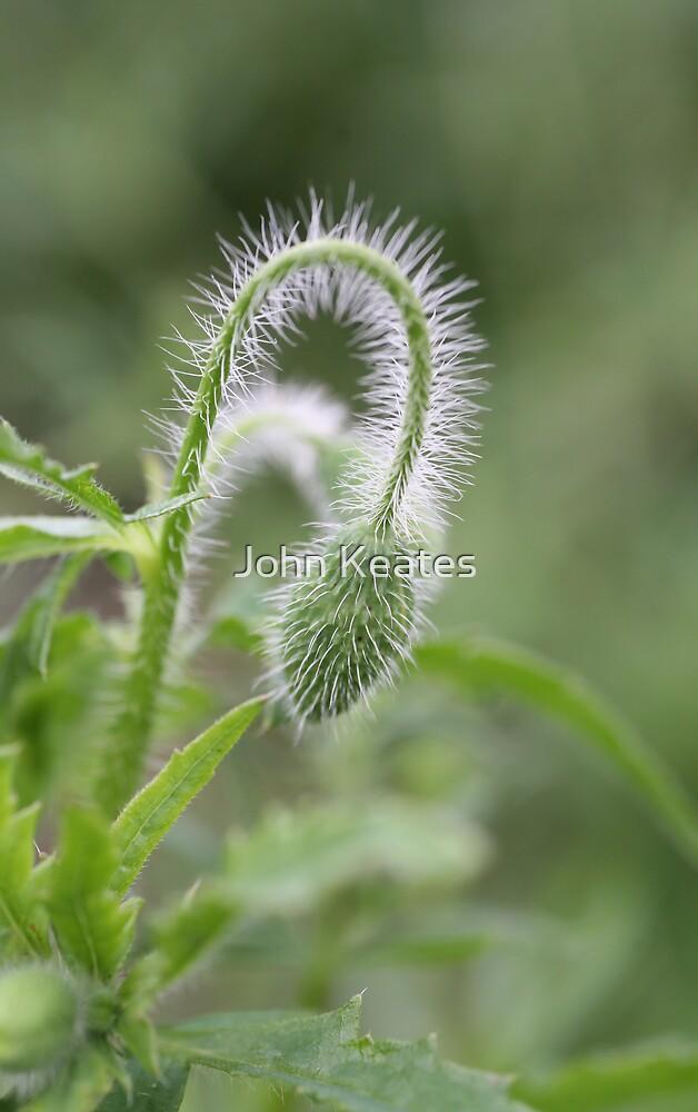 Poppy bud by John Keates
