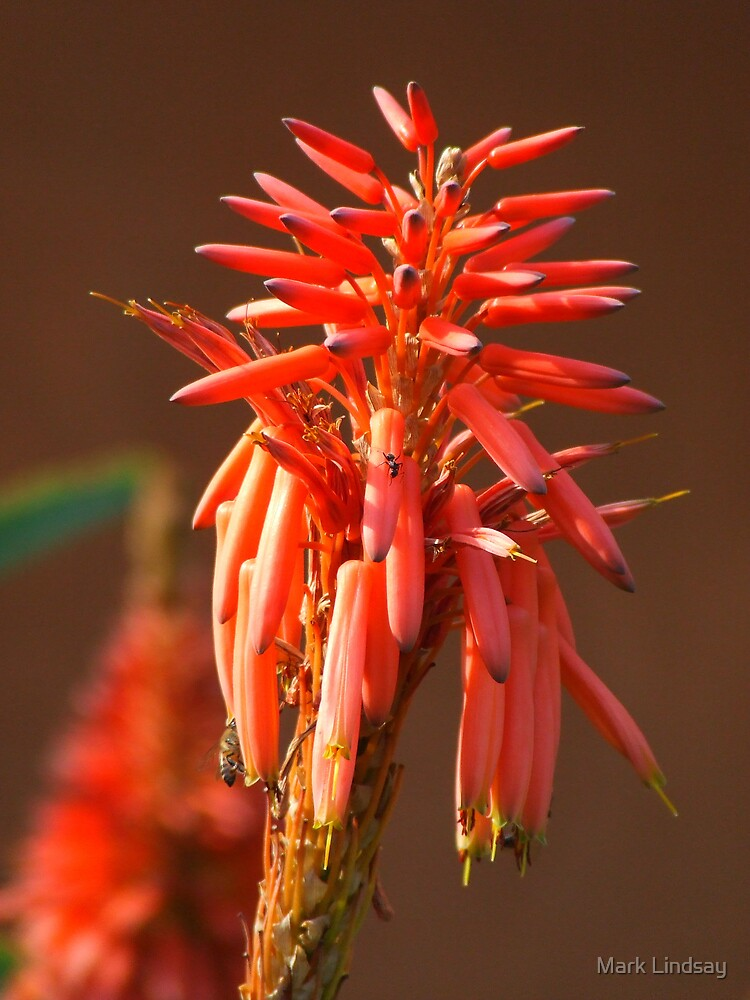 Cape Aloe by Mark Lindsay