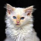 Cream Siamese Kitten by Catherine Sherman