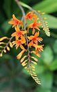 Crocosmia flower by John Keates