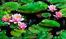 Waterlilies by Jeff Clark