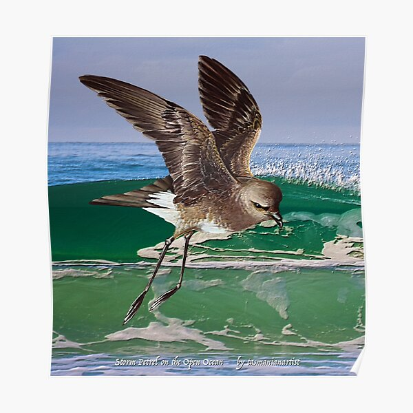 GALLIMAUFRY ~ JUST PHOTOS ~ SCENES & SCENERY ~ D1G1TAL-M00DZ ~ Storm Petrel on the Open Ocean by tasmanianartist Poster