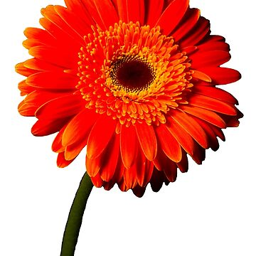 Orange Gerberas by jewelsee