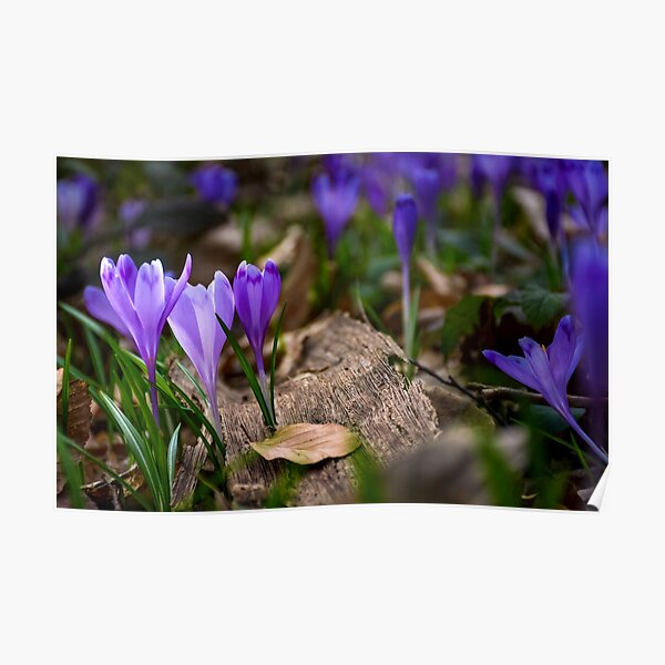 purple crocus flowers in forest Poster