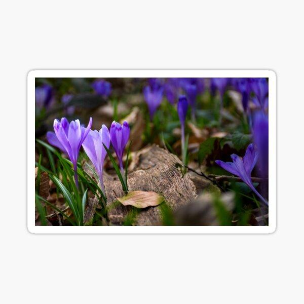 purple crocus flowers in forest Sticker