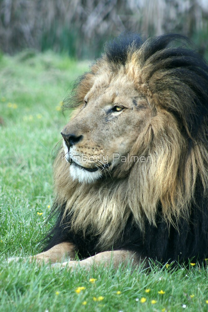Lion by Kimberly Palmer