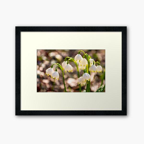 Beautiful blooming of White spring Snowflake Framed Art Print