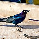 Common Grackle In St. Simons by georgiaart1974