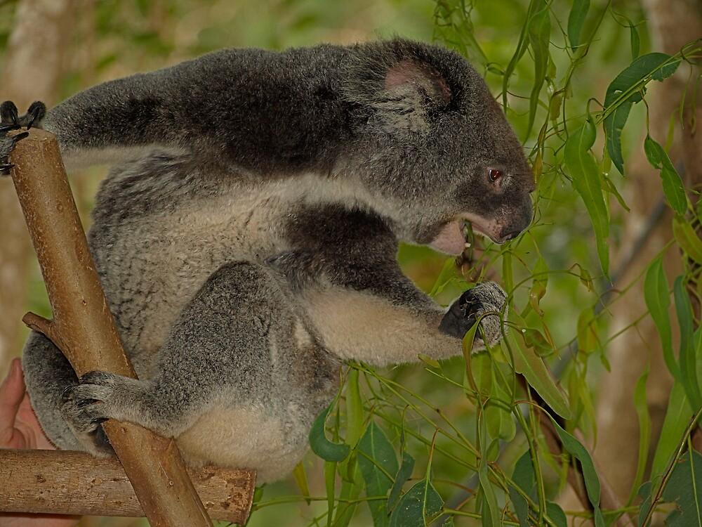 Koala Crunch by archieswell