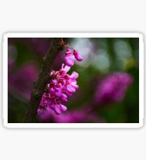 Judas tree blossom in springtime Sticker