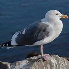 Posing Seagull - Morro Bay, California by Buckwhite