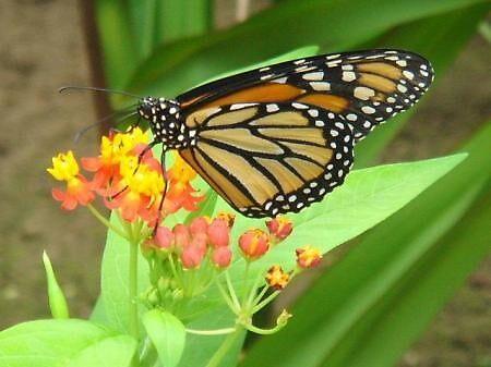 Butterfly in Honduras by pebz56