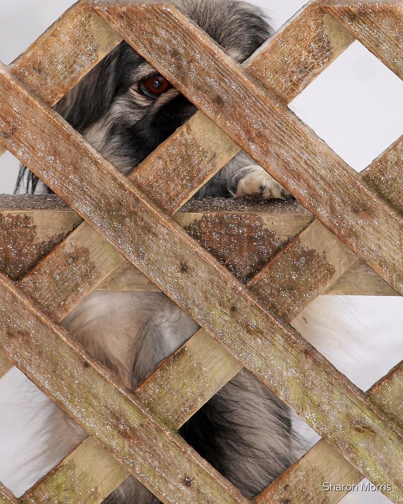 Peking through the Fence by Sharon Morris