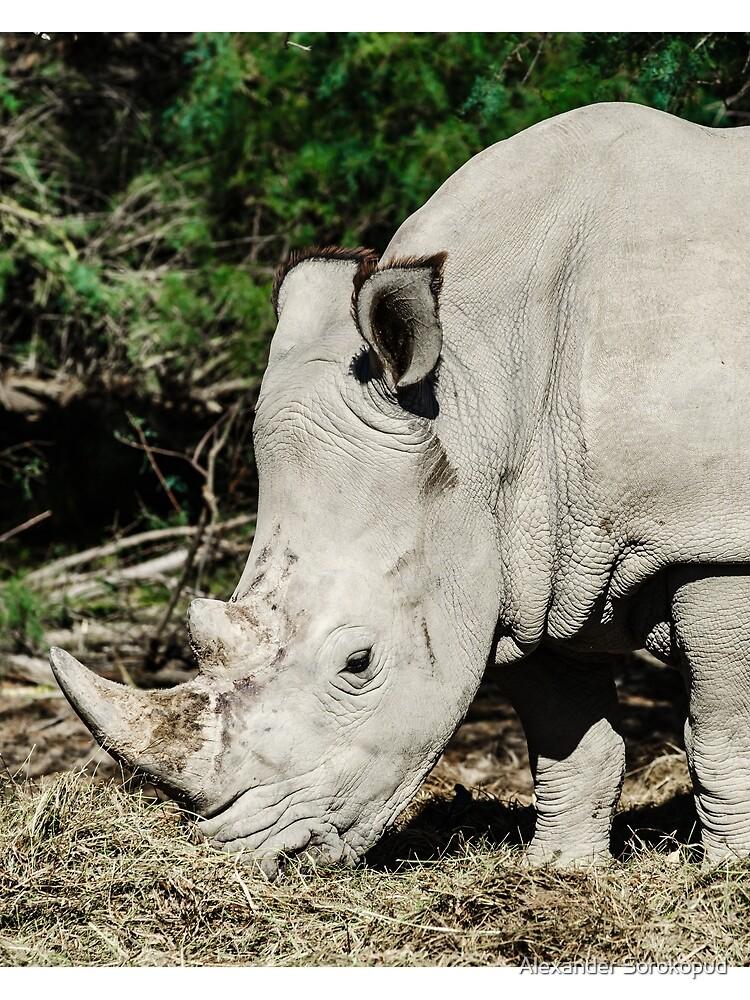 Big grey rhinoceros in safari park, Sigean, France by sorokopud