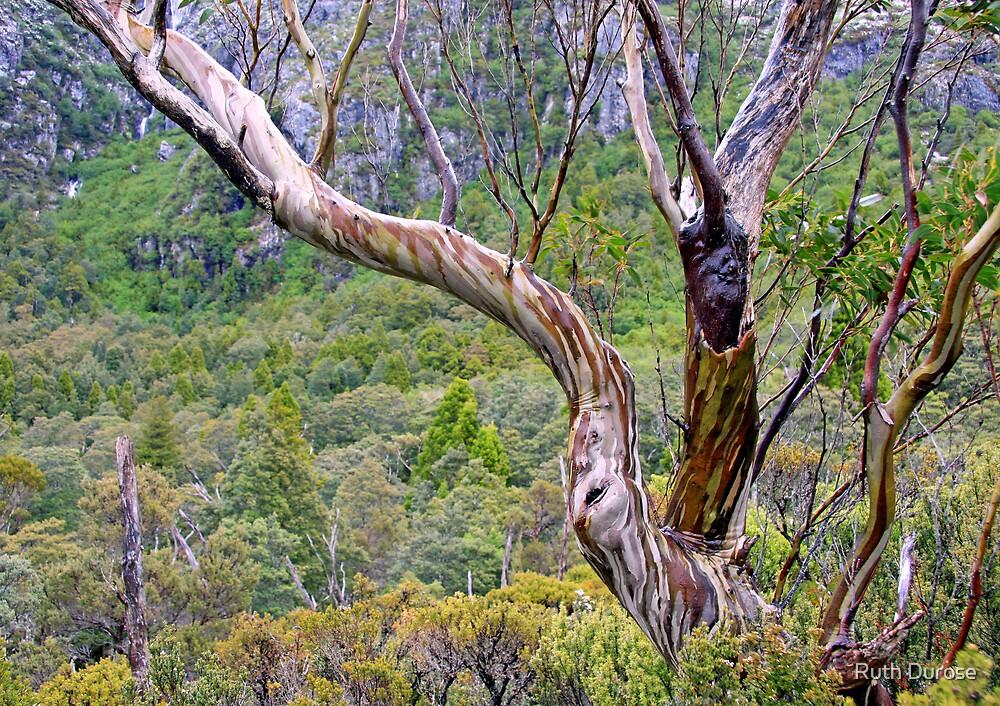 Snow Gum - Cradle Mountain National Park, Tasmania by Ruth Durose