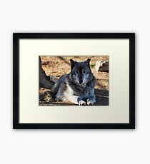 Timber Wolf - Zeus Framed Print