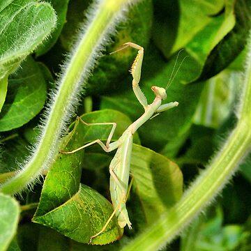 Mantis by incant