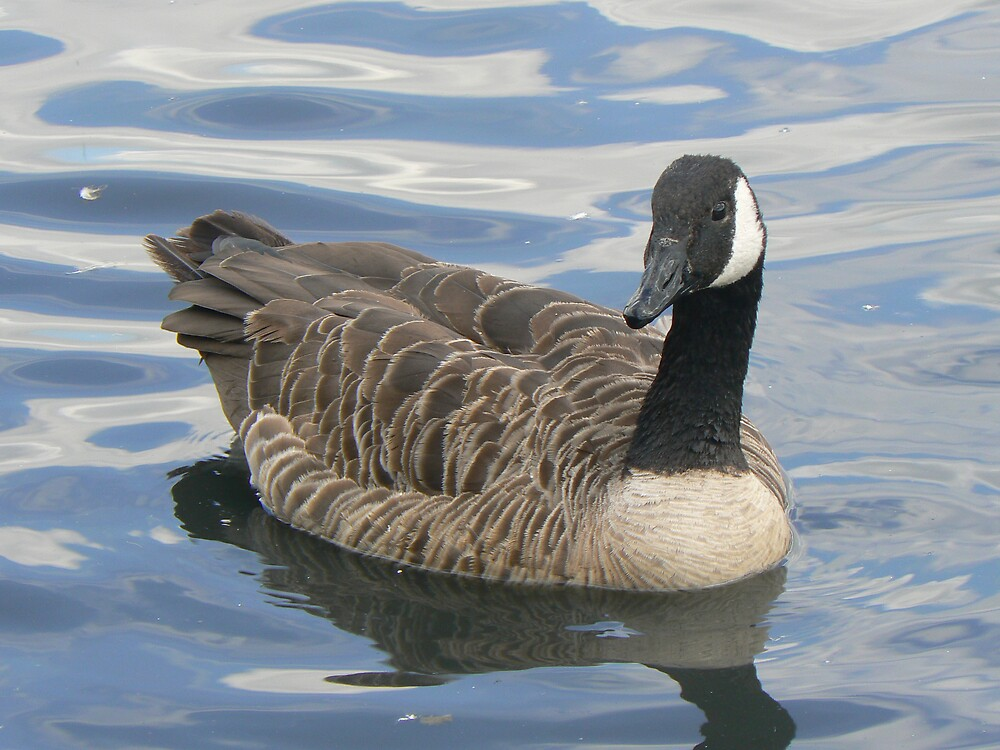 Canada Goose  by David Bass