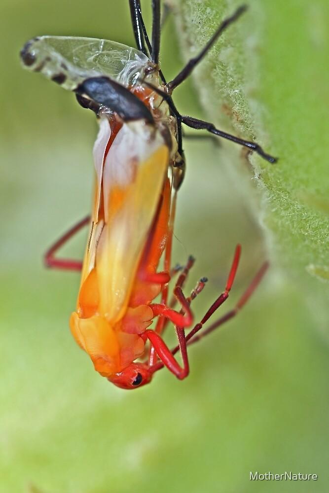 Coming of Age - Large Milkweed Bug - Oncopeltus fasciatus by MotherNature