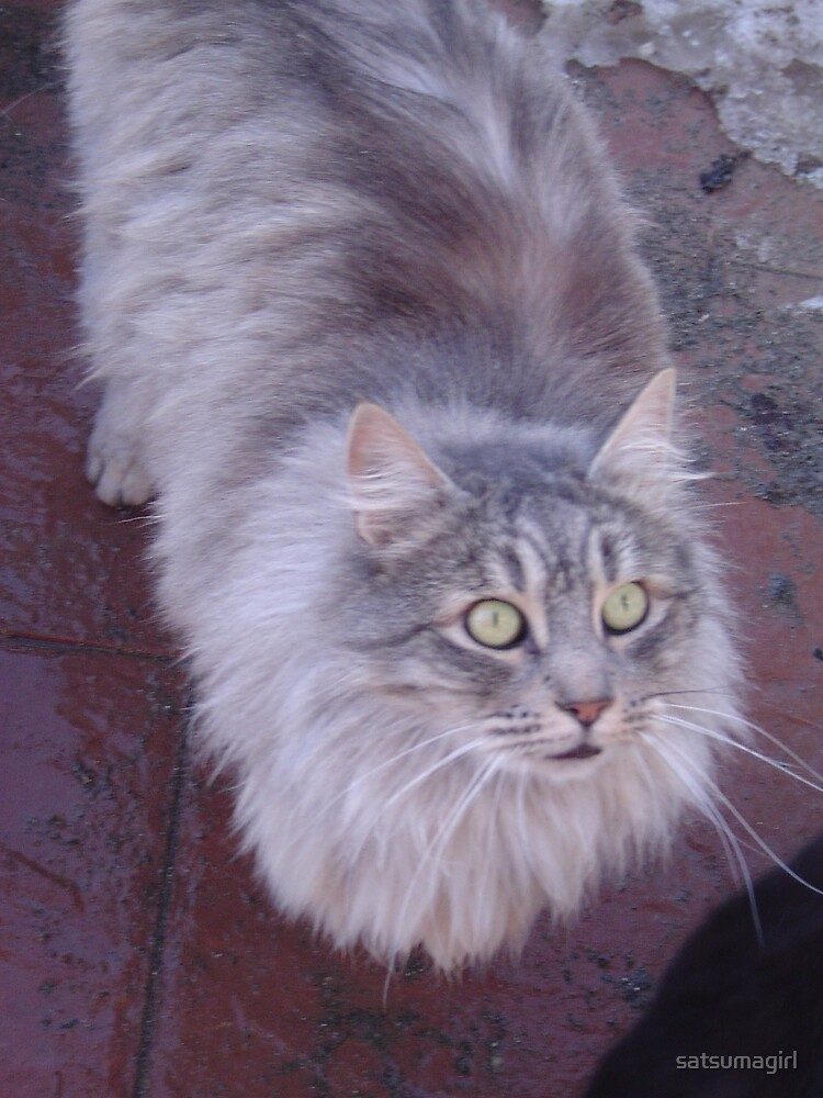 Silver Maine Coon by satsumagirl