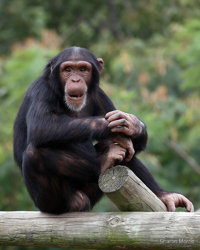 Young Chimpanzee by Sharon Morris