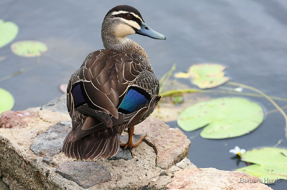 Pacific Black Duck-0776 by Barbara Harris