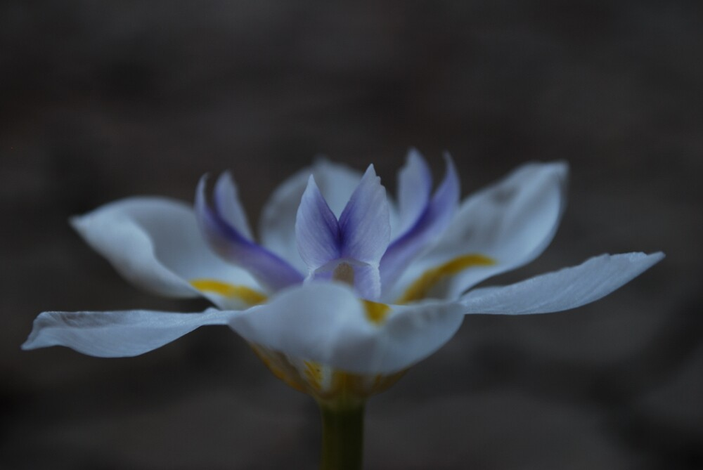 Lily 2 by xeba