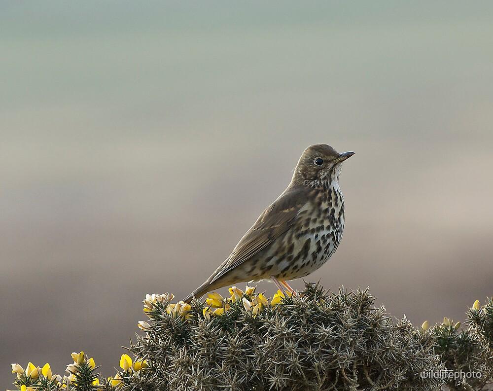 Song Thrush by wildlifephoto