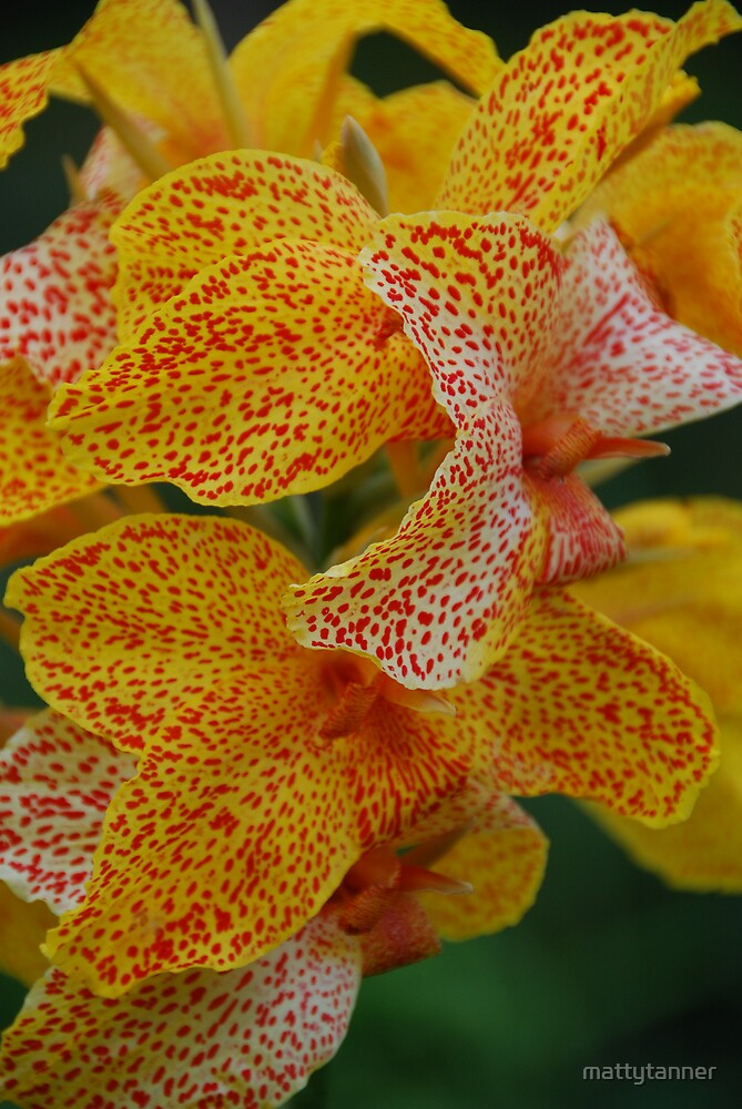 Tropicana Canna Lily by mattytanner