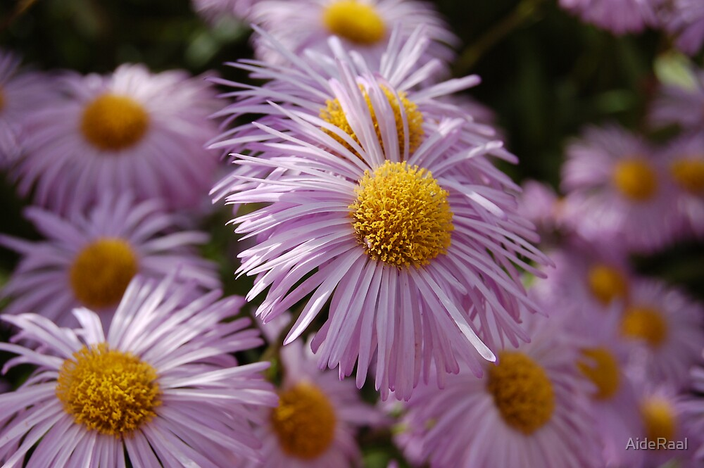 Pink Chinese aster by AideRaal
