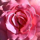 Pink Rose Macro by Clayton Bruster