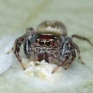 Garden Jumping Spider with Eggs by Andrew Trevor-Jones