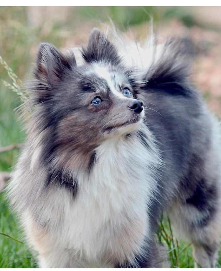 Blue Merle Pomeranian Ipad Case Skin