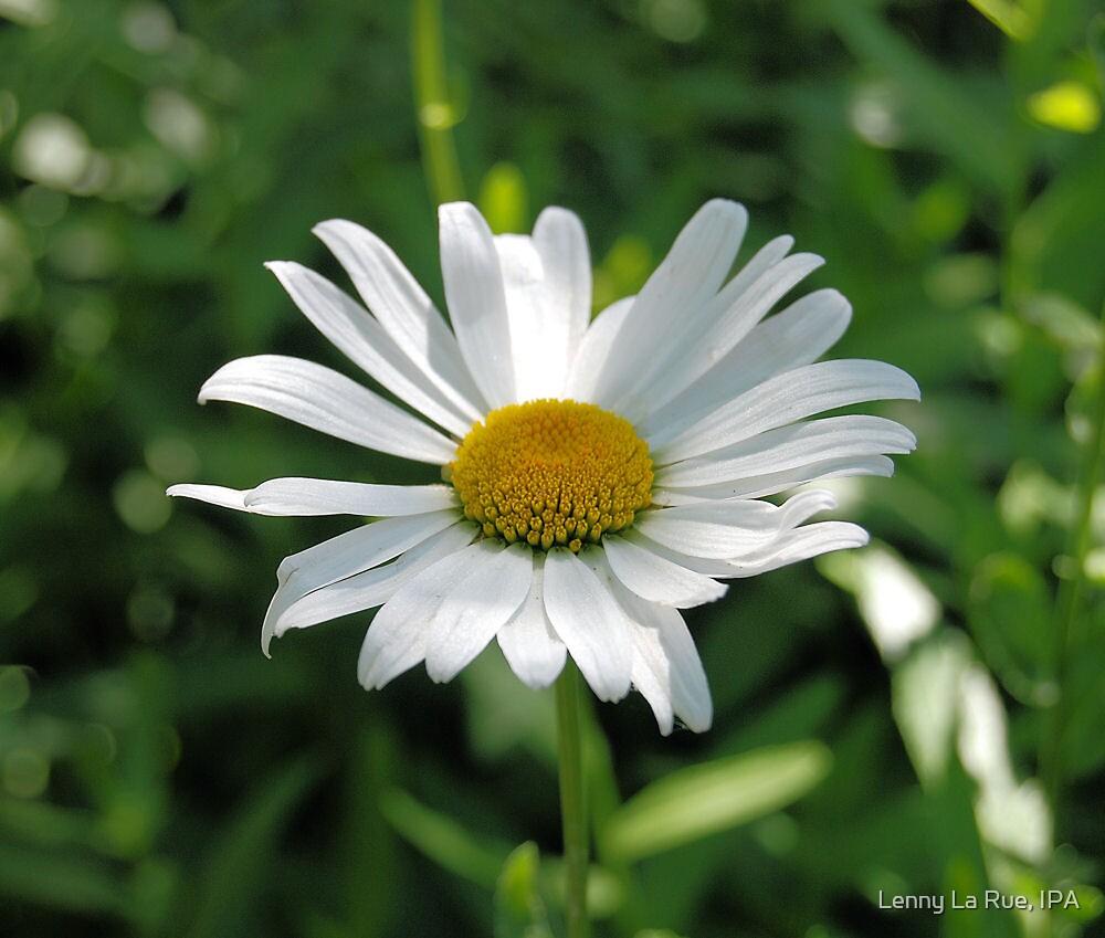 Marguerite Daisy by Lenny La Rue, IPA