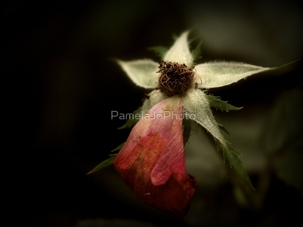 The Frail Duration Of A Flower by PamelaJoPhoto
