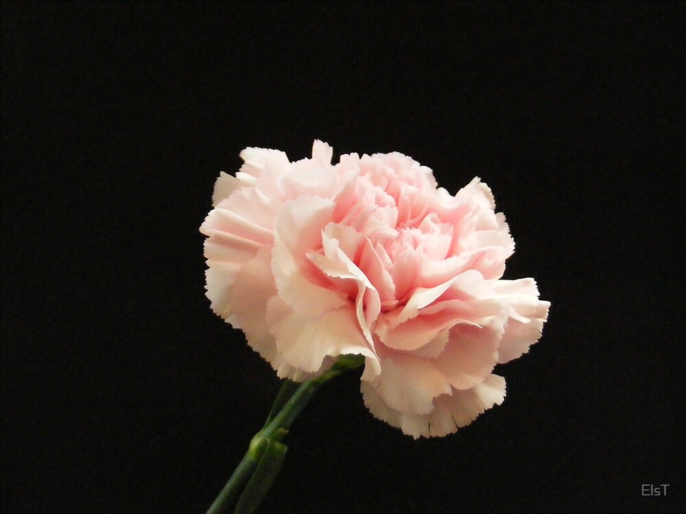 Pink on black by ElsT