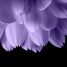 Ultra violet purple flower petals black by PLdesign