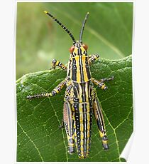 Grasshoppers delight Poster