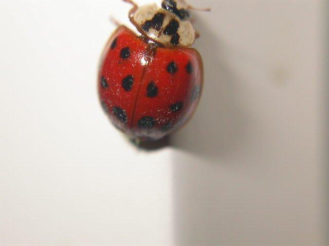 ladybug by waynrushing