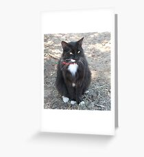 'Butch' with all his white trims!  Manx Cat. Greeting Card
